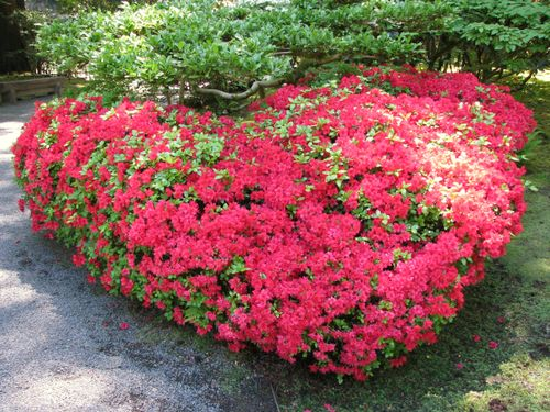 Heart shrub